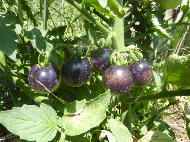 2012 garden tomato variety review great lakes permaculture network. Black Bedroom Furniture Sets. Home Design Ideas