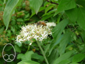 honeybee_on_Cornus_flr