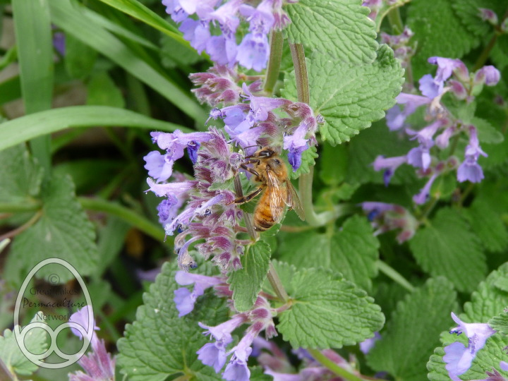 Honeybee foraging on Nepeta racemosa