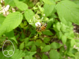 Honeybee feeding on bramble flower