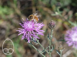 Honeybee foraging on spotted knapweed