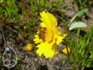 Honeybee feeding on Coreopsis lanceolata
