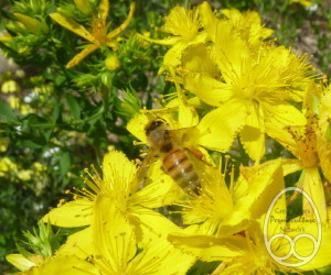 Honeybee on Hypericum perfoliatum